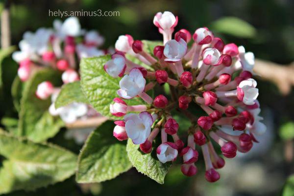 lantana flowers4