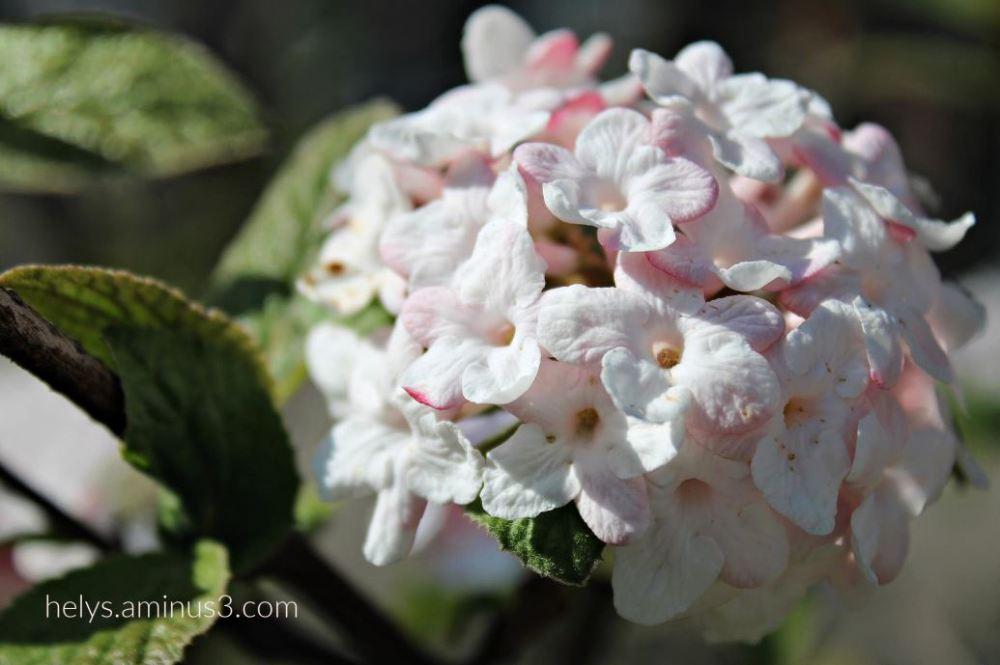 lantana flowers5