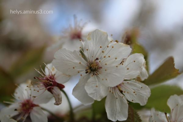 white blossoms begin to lose their petals1