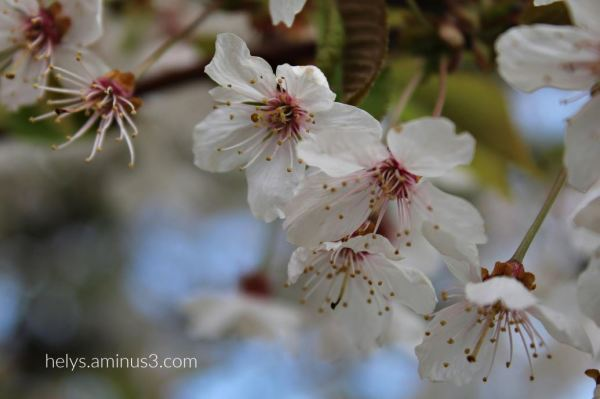 white blossoms begin to lose their petals2