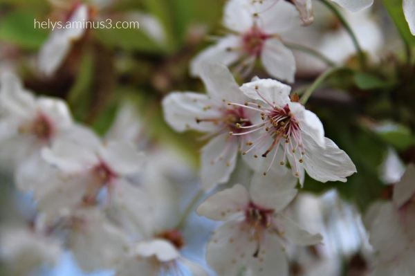 white blossoms begin to lose their petals3