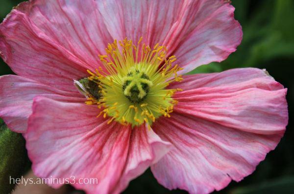 a pink eye popping