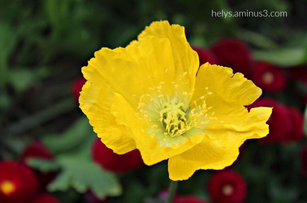yellow poppy2