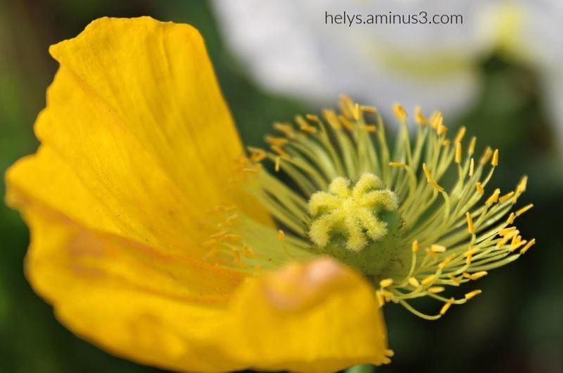 yellow poppy3