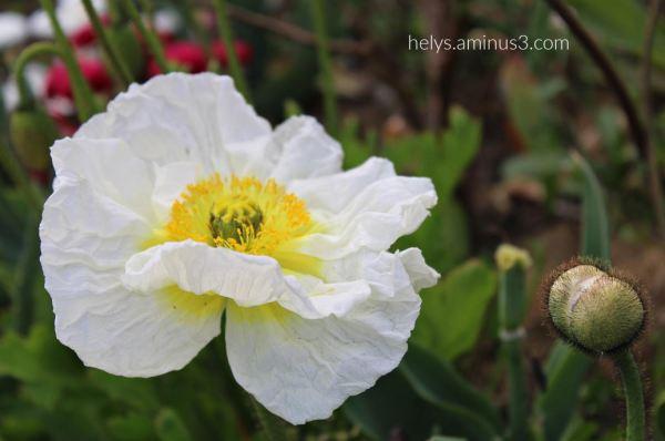 white poppy1