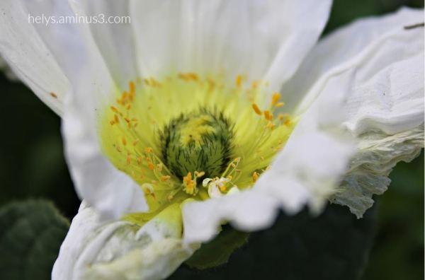 white poppy2