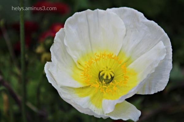 white poppy3