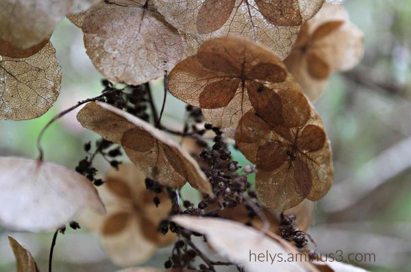 4-hydrangeas standing dried up!