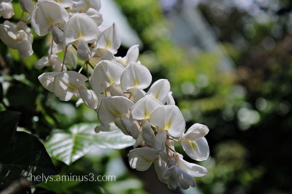 white wisteria sinensis1