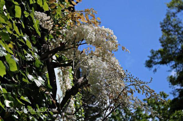white wisteria sinensis2