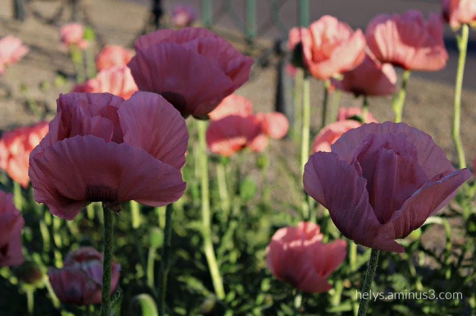 sunset light on pink giant poppies2