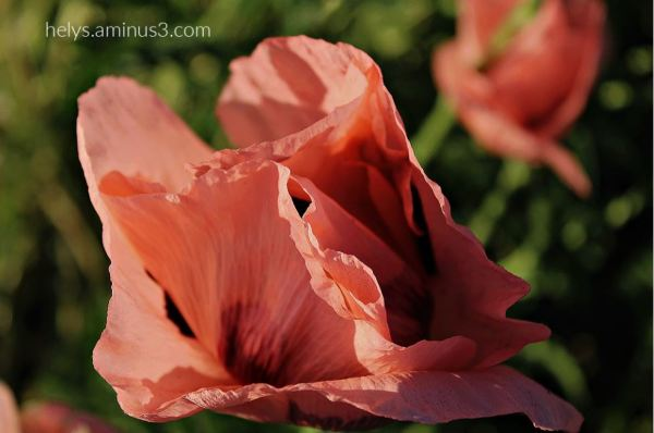 sunset light on pink giant poppies3