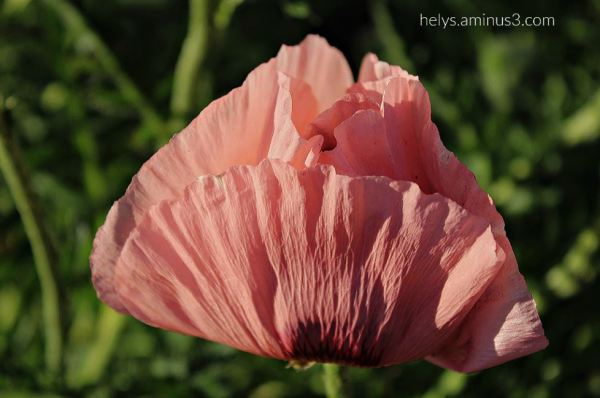sunset light on pink giant poppies4