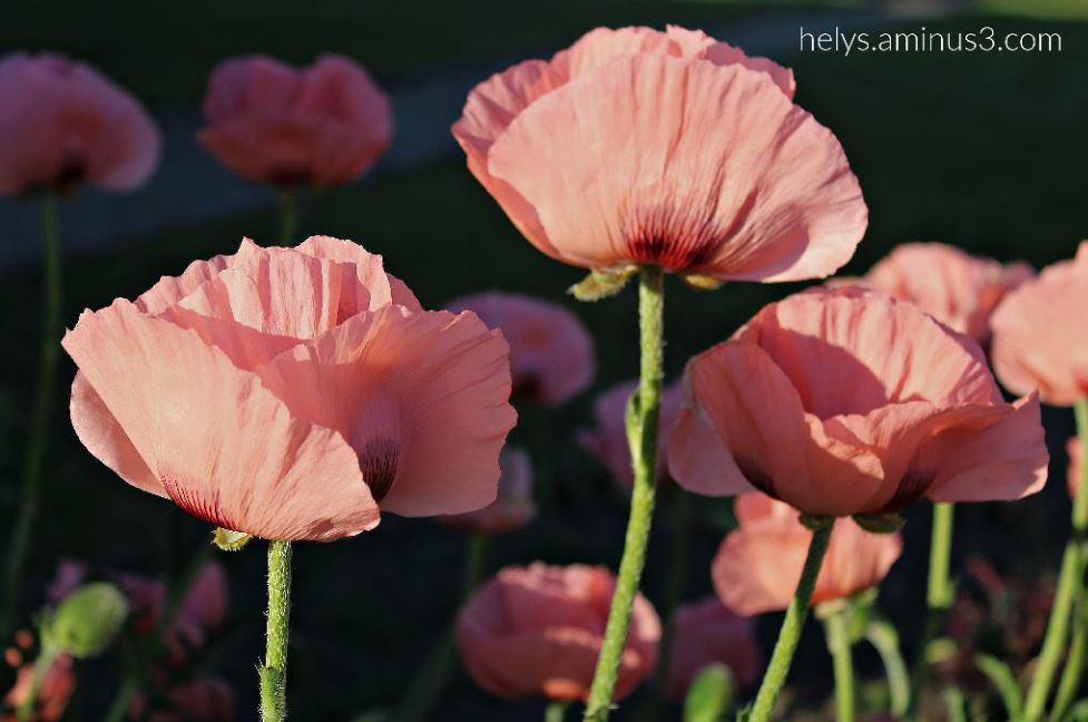 sunset light on pink giant poppies5