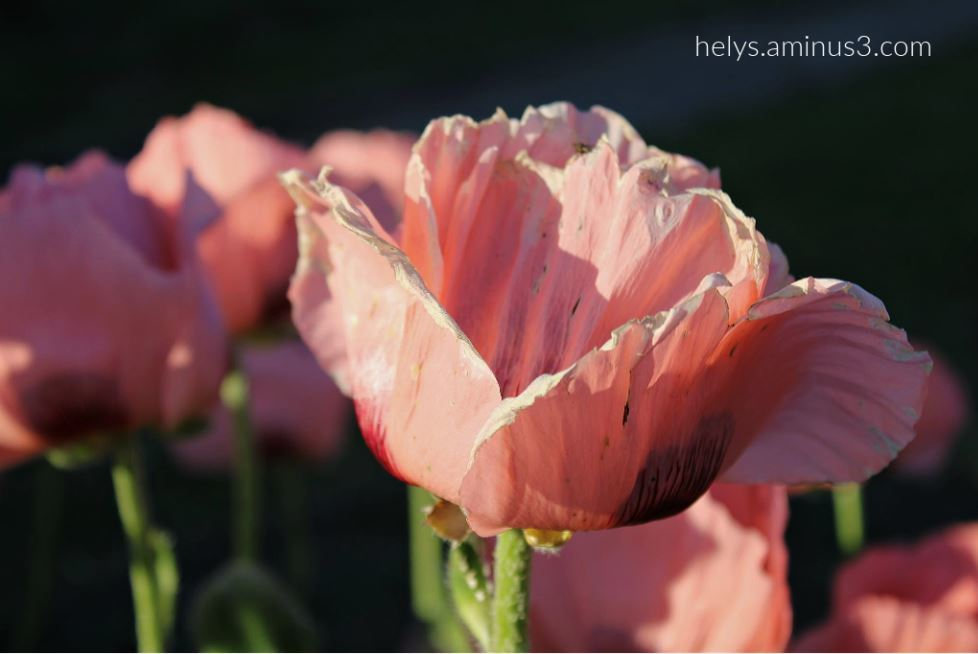 sunset light on pink giant poppies6