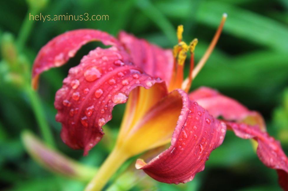 1-raindrops on a blood red lily