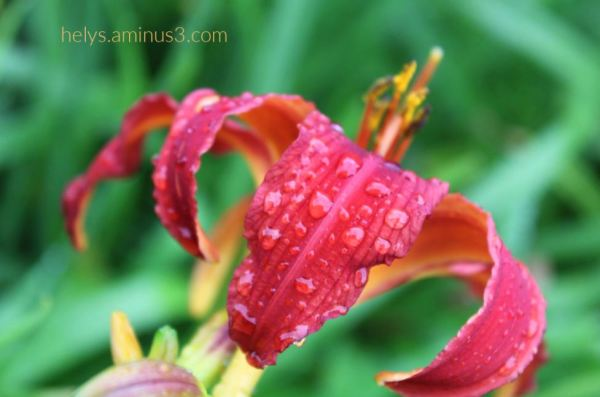 2-raindrops on a blood red lily
