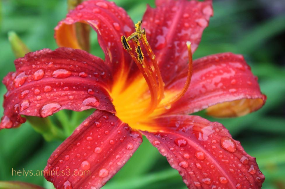 4-raindrops on a blood red lily