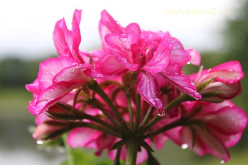 1-raindrops in pink geranium petals