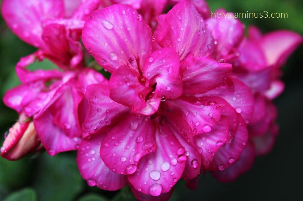 2-raindrops in pink geranium petals