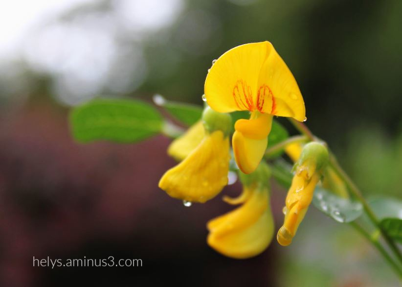 4-raindrops on flowering hedge of coronilla emerus