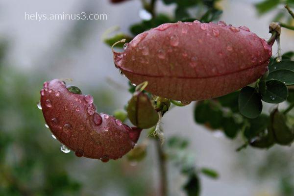 6-raindrops on coronilla emerus seeds