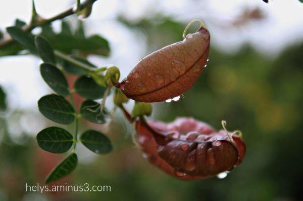 9-raindrops on coronilla emerus seeds