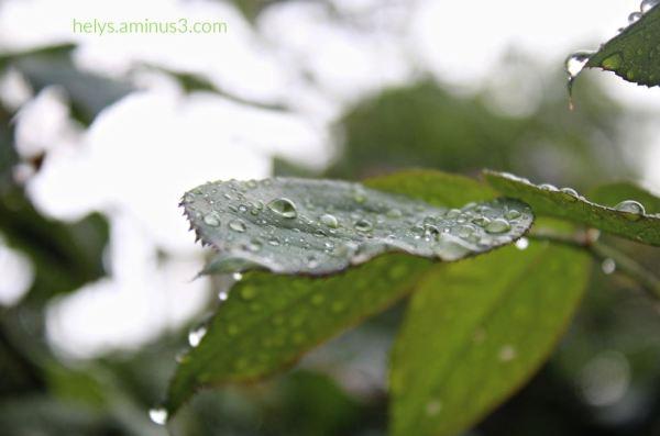 11-raindrops on leaves
