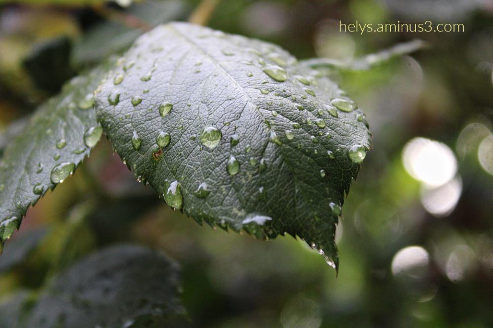 13-Raindrops on leaves