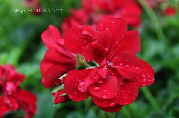 14-raindrops on red geranium