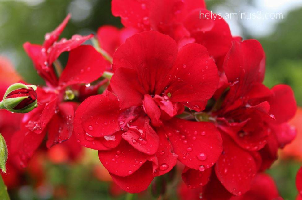 17-raindrops on red geranium