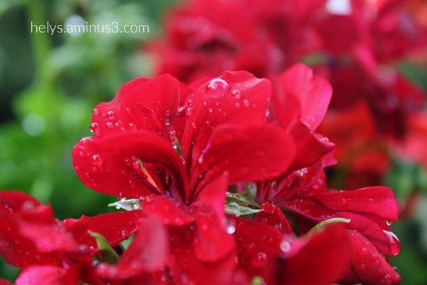 18-raindrops on red geranium