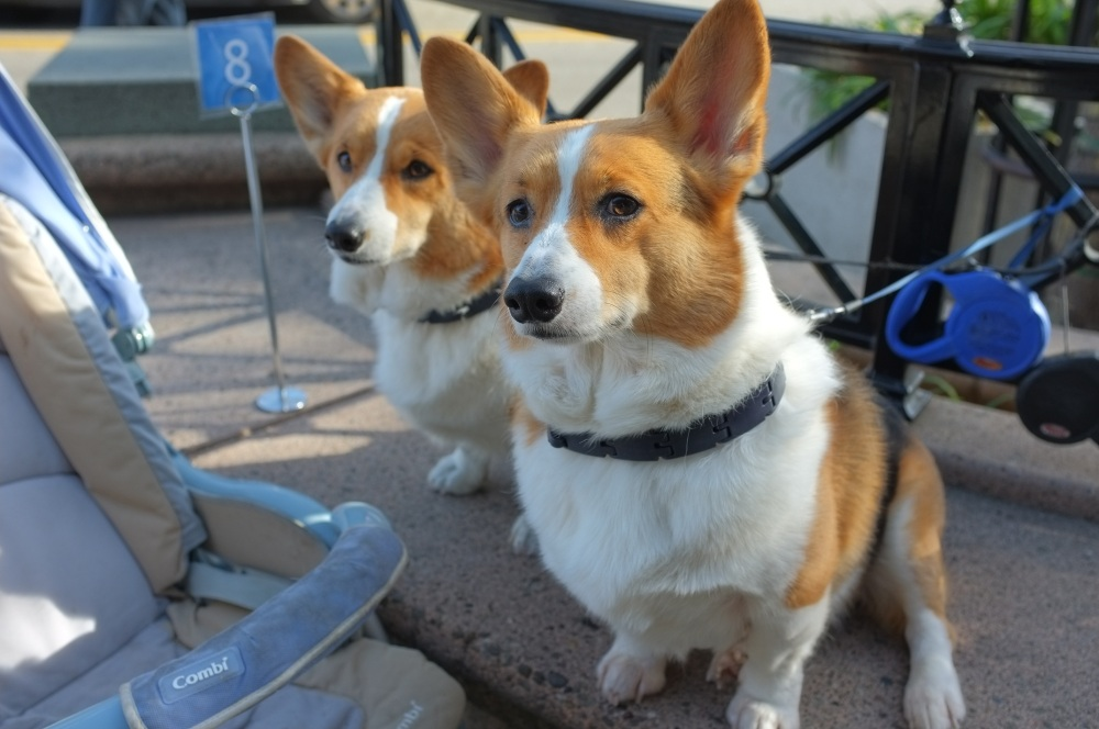 Corgies Waiting Patiently for a Table on Castro