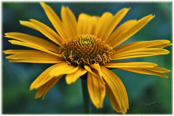 marguerite fleur
