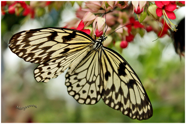 papillon Idea leuconoe