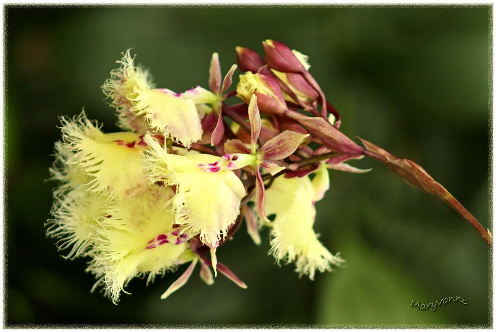 orchidée fleur jaune