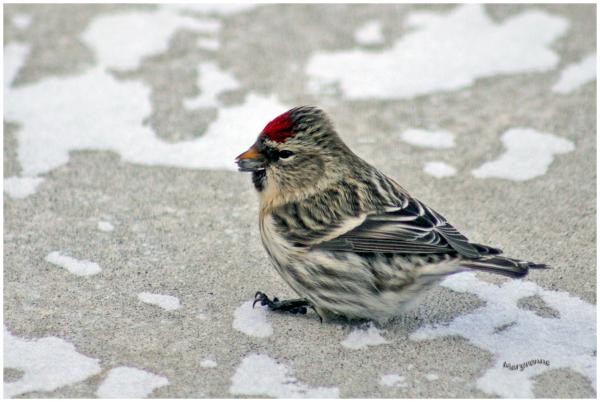 oiseau  sizerin hiver