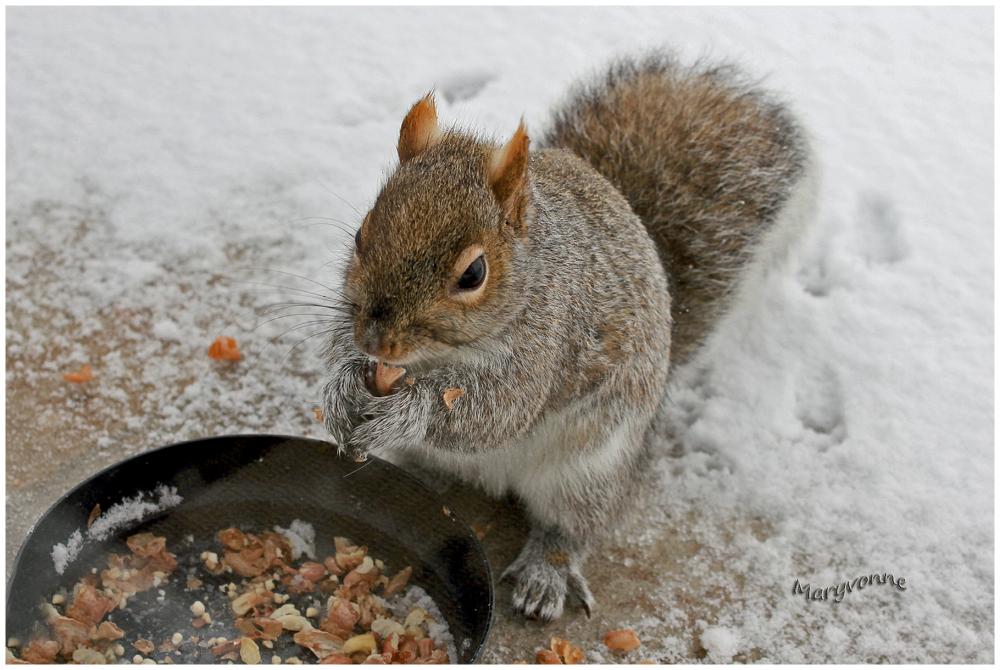 animal écureuil arachides hiver repas neige