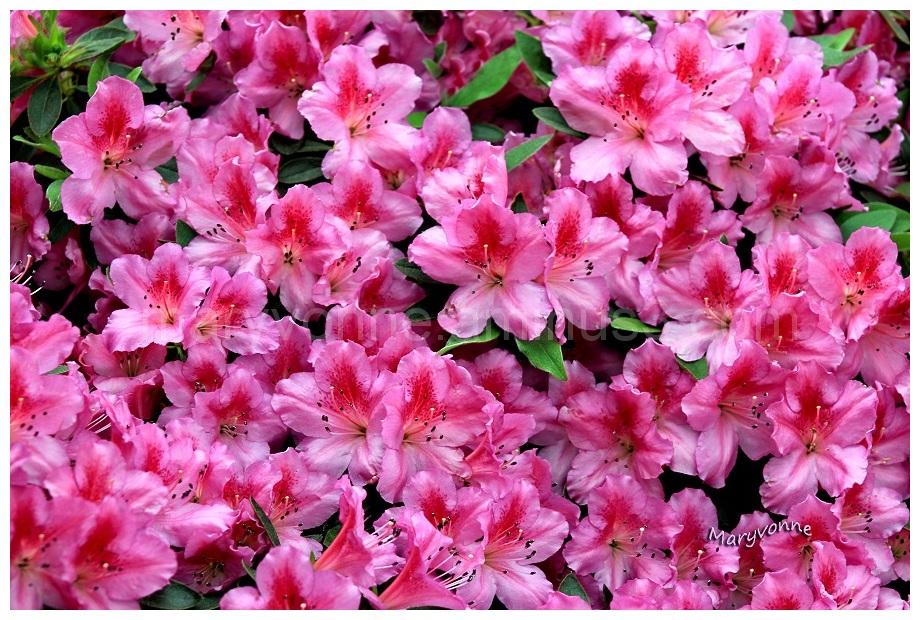 fleur azalée rose couleur