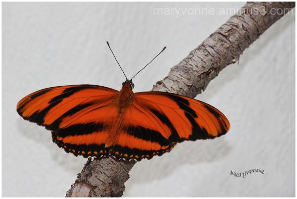 papillon couleur orange