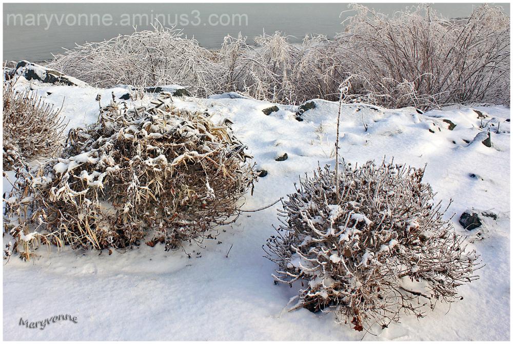 hiver arbustes neige