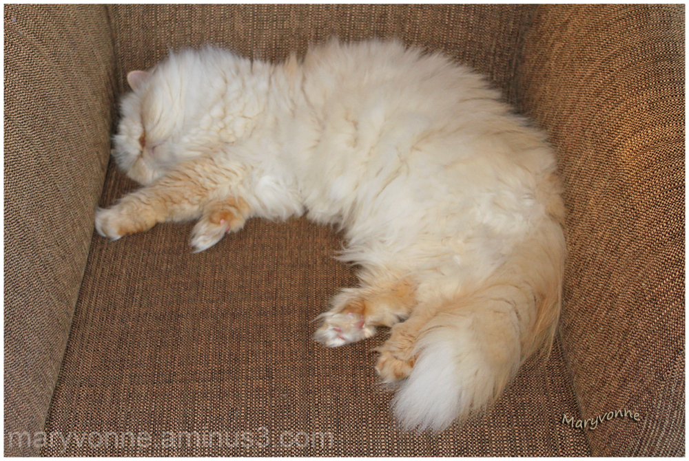 chat blanc sommeil fauteuil