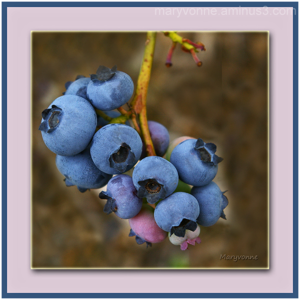bleuets fruits