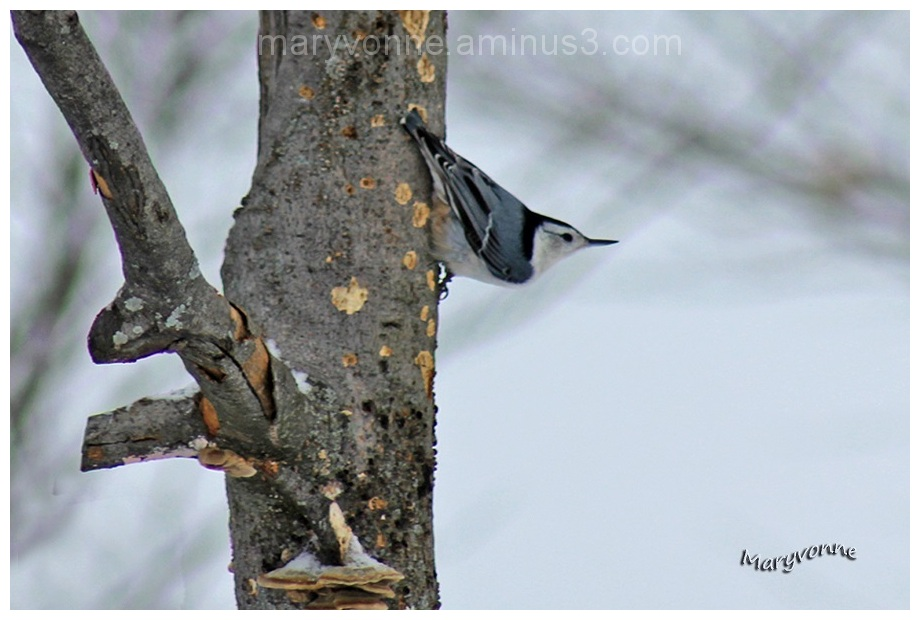 oiseau sittelle