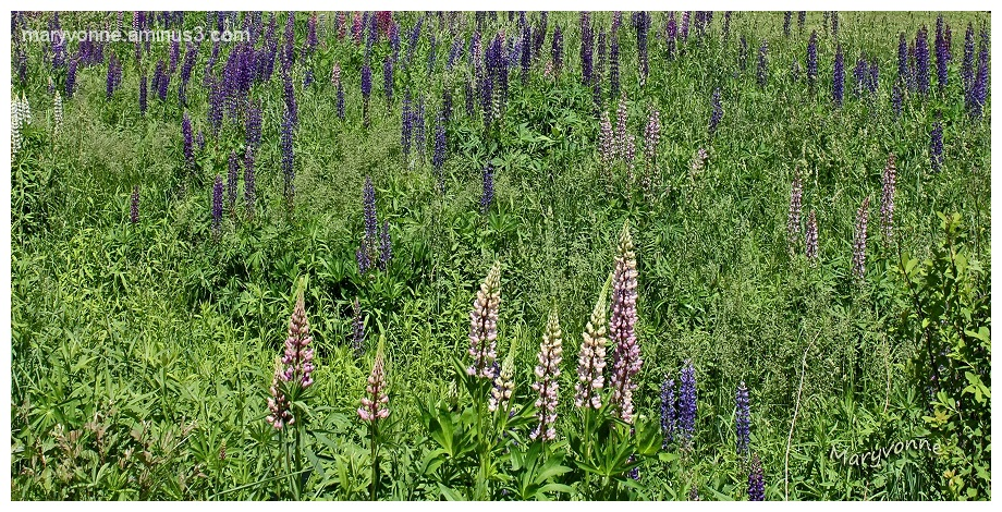 lupin campagne