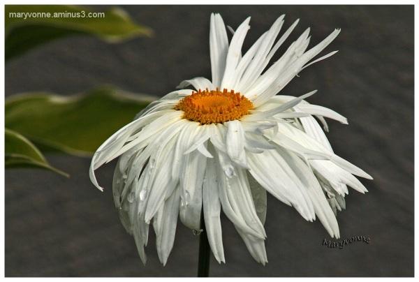 fleur nature marguerite