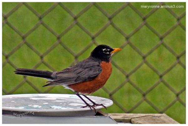 oiseau merle