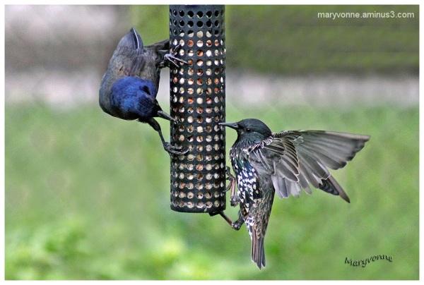 oiseau mangeoire