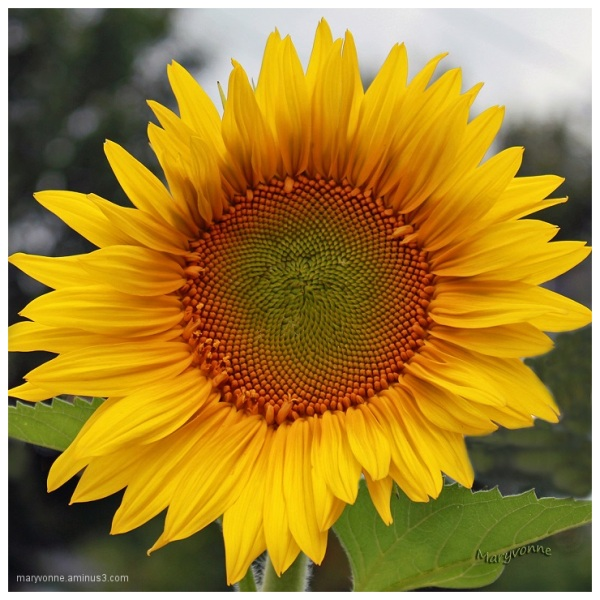fleur jaune tournesol