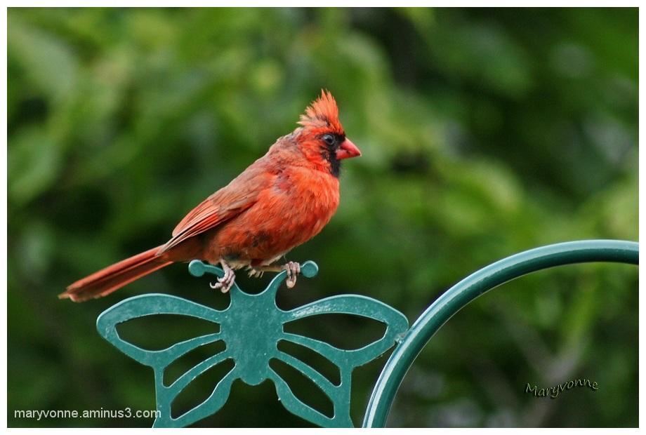 oiseau cardinal